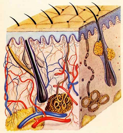 Imagen Anatomía de la Piel